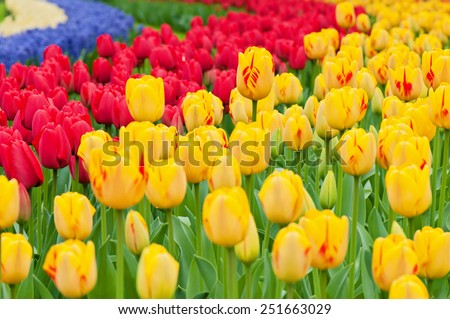 Multicolored tulips on the flowerbed in Keukenhof Holland. Shallow depth of field. Focus on the central tulip - stock photo