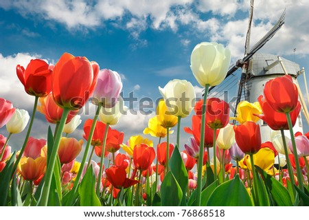 Multicolored tulips with windmill background - stock photo