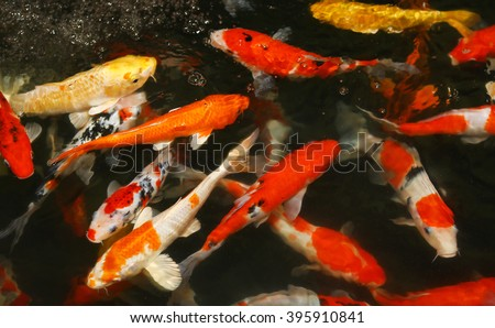"Multicoloured pond fish ""Koi fish"" - stock photo"