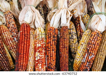 multiple ears of colorful, dried corn - stock photo