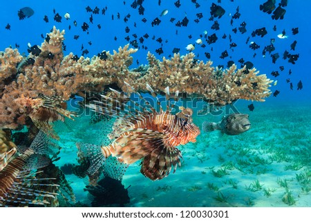 Multiple lionfish, puffer and other tropical fish swim around a table coral - stock photo