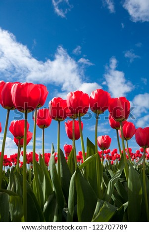 Multiple red tulips in bloom against a blue sky.