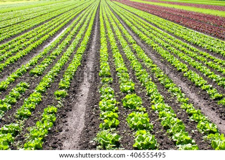 Multiple rows of green and red lettuce growing in a farmer's field