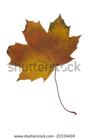 Multy colored dried maple leaf. Canadian symbol - stock photo