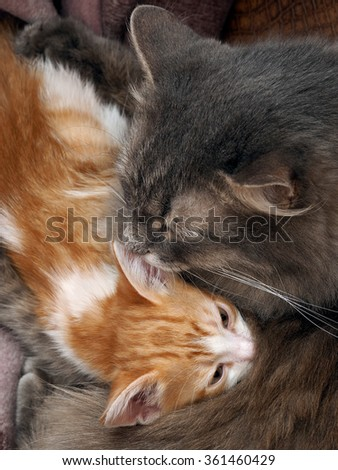 Mum cat and kitten. Mother cat hugging a small kitten. The cat is gray, fluffy. The kitten is small, white and red. Family of cats. Kitten is pressed against the mother