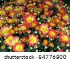 Mum flowers - stock photo