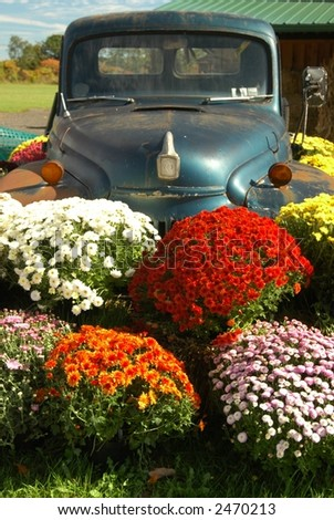 mums and antique car on farm