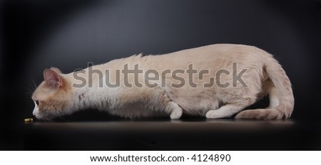 Munchkin cat - stock photo