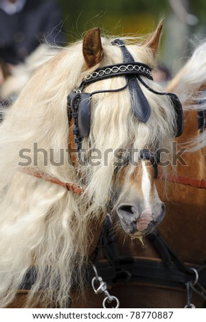 "MUNICH, GERMANY - JUNE 4: portrait of an bavarian Haflinger horse while a public show at international equestrian challenge ""Pferd International 2011"" at June 4, 2011 in Munich, Germany"