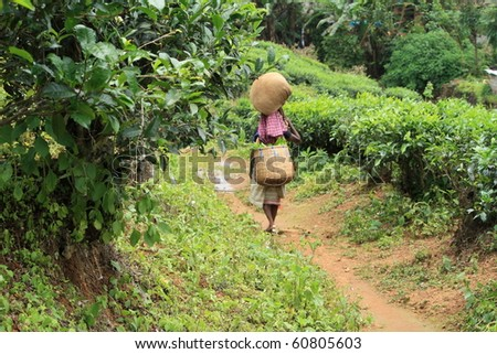 MUNNAR, INDIA - AUG 25 : An Indian woman worker carries plucked tea leaves from tea plantation August 25, 2009 in Munnar, Kerala, India.