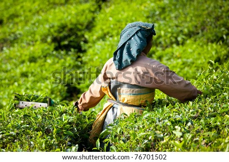 MUNNAR, INDIA - DECEMBER 7 : Woman picking tea leaves in a tea plantation,  Munnar is best known as India's tea capital.  December 7. 2010 - Munnar, Kerala, India - stock photo