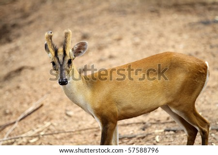 Muntjac deer with a brown background. - stock photo