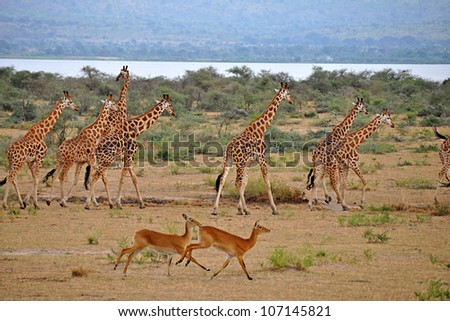 Murchison Falls National Park, Uganda, Africa - June 28, 2009: A large family of giraffes run with the gazelles on the open plains of Murchison Falls National Park. - stock photo