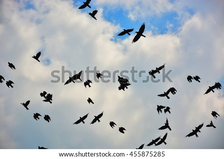 Murder of many black raven birds hovering in high blue sky with cumulus clouds in summer