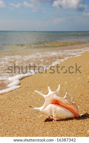 Murex Seashell on the Beach