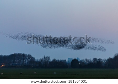 Murmeration of Starlings in a flight - stock photo