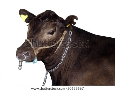 Murray Gray Cow isolated with clipping path - stock photo