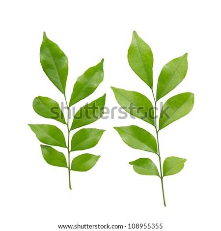 murraya paniculata  or orange jasmine leaves. isolated on white background - stock photo