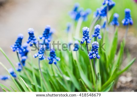 Muscari armeniacum (Blue Grape Hyacinth) blooming in the garden. Selective focus. Shallow depth of field. - stock photo