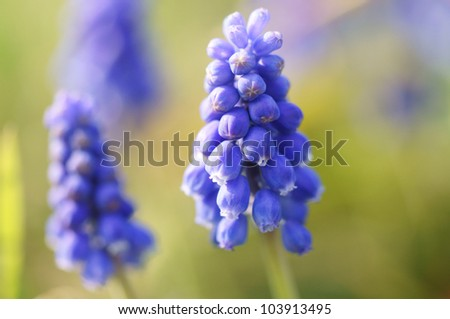muscari flower in early spring