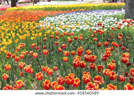 Muscaris and Tulips in a flower garden in hitachi seaside park japan