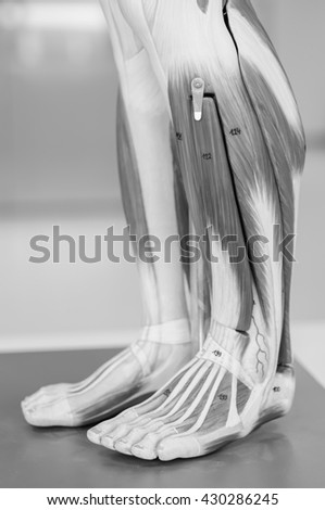 muscle anatomy of human with black and white - stock photo