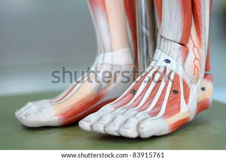 muscle anatomy of legs - stock photo