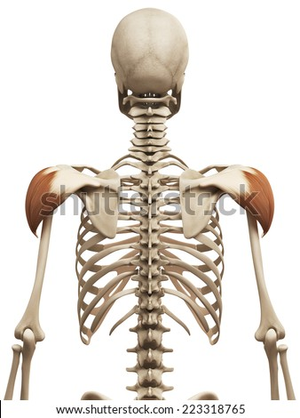 muscle anatomy - the deltoid - stock photo