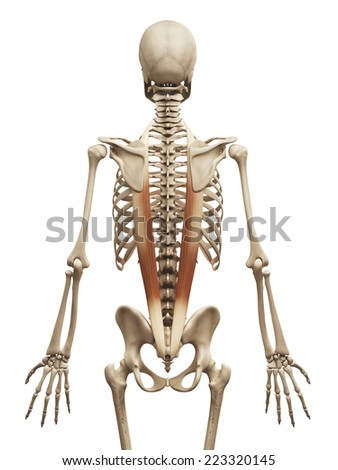 muscle anatomy - the iliocostalis - stock photo