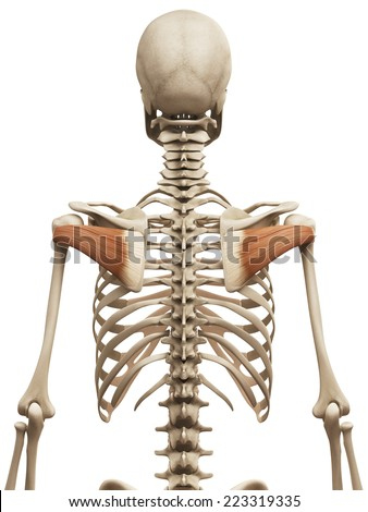 muscle anatomy - the infraspinatus - stock photo