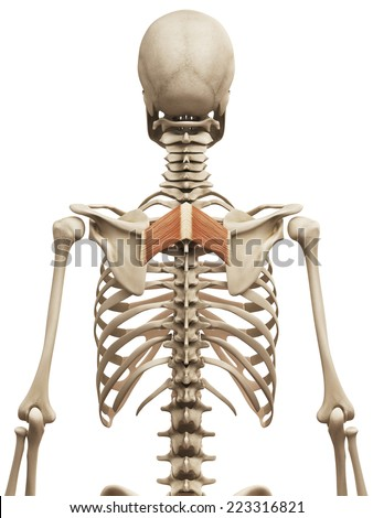 muscle anatomy - the rhomboid major - stock photo