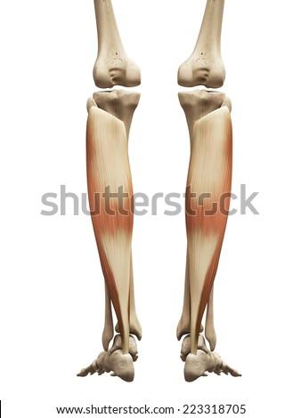 muscle anatomy - the soleus - stock photo