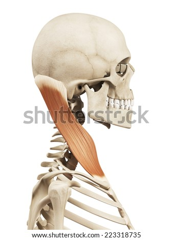 muscle anatomy - the sternocleidomastoid - stock photo