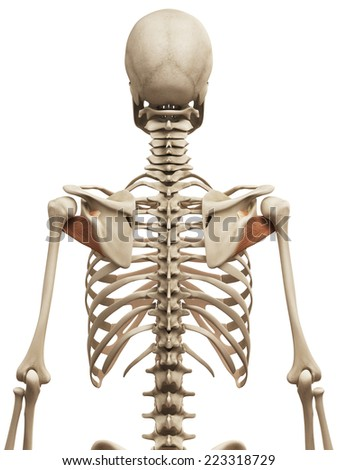 muscle anatomy - the subscapularis - stock photo