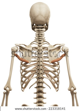 muscle anatomy - the teres major - stock photo