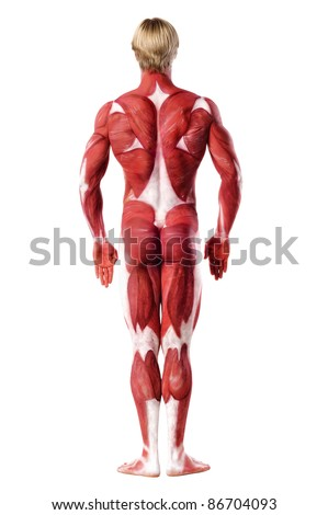 Muscle man rear view. Anatomy body-art. Isolated over white - stock photo