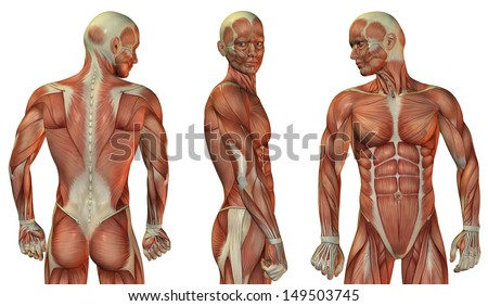 Muscle structure of head and upper body of the man - stock photo