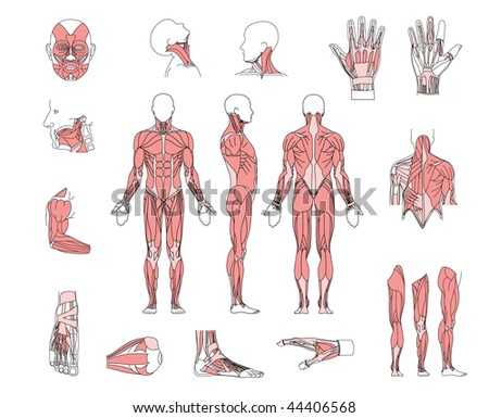 muscle system - stock photo
