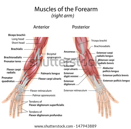 Muscles of forearm anterior and posterior view - stock photo