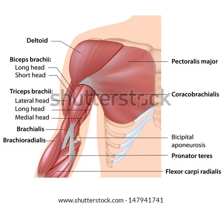 Muscles of the arm anatomy, labeled diagram. - stock photo