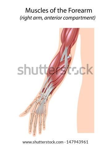 Muscles of the forearm, unlabeled  - stock photo