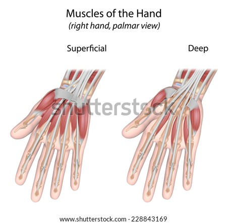 Muscles of the hand palmar view unlabeled. - stock photo
