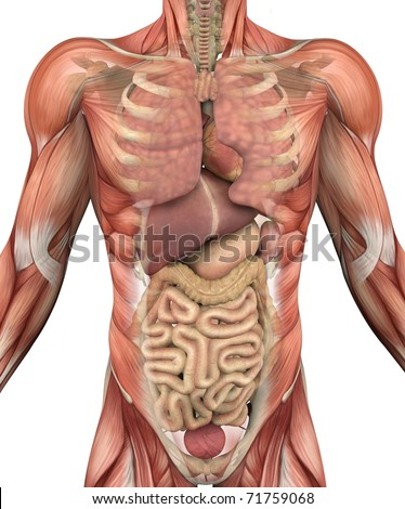 Muscles of the male torso, with a fade-away to reveal the internal organs and skeleton - 3D render. - stock photo