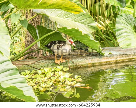 Muscovy duck family garden pool st stock photo 604225934 for Family garden pool