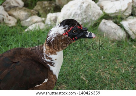 Muscovy Duck on the grass - stock photo
