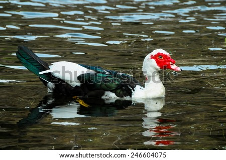 Muscovy Duck Swimming in a Black Water Lake