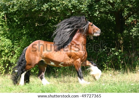 muscular , powerfull Irish Cob stallion running in the pasture - stock photo