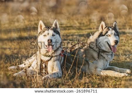 Mushing. Dog resting after the race. Siberian Husky. - stock photo