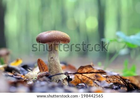 Mushroom Armillaria mellea - stock photo