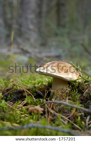 mushroom boletus close up